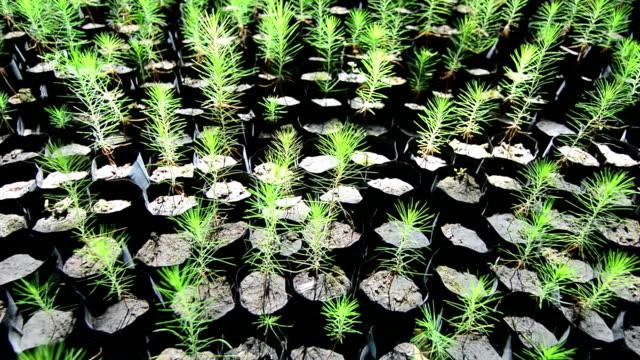 pine seedling - pine stock videos & royalty-free footage