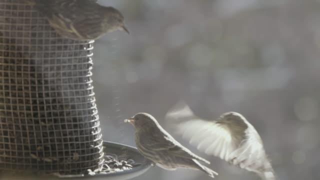 pine siskin on a birdfeeder - three animals stock videos & royalty-free footage