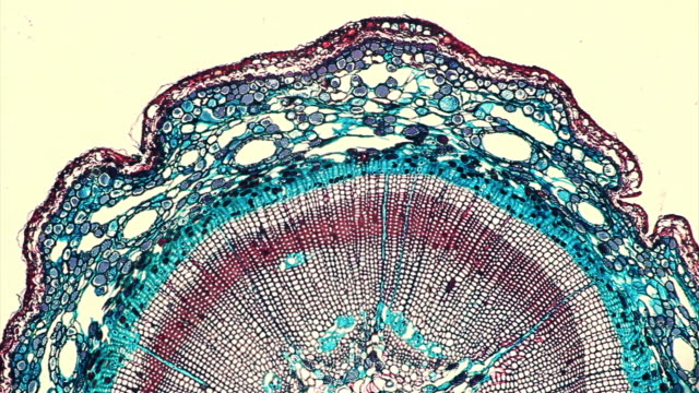 pine stem tissue under microscope - magnification stock videos & royalty-free footage