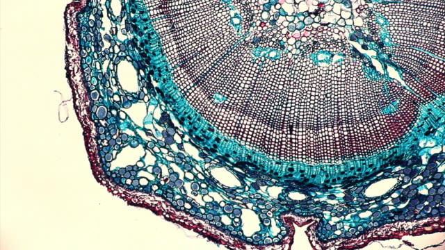 pine stem tissue under microscope - microscope stock videos & royalty-free footage