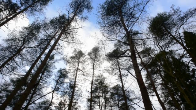 pine tree canopy in south ayrshire. - david johnson stock videos & royalty-free footage