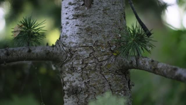 松の木のクローズアップ - パインコーン点の映像素材/bロール