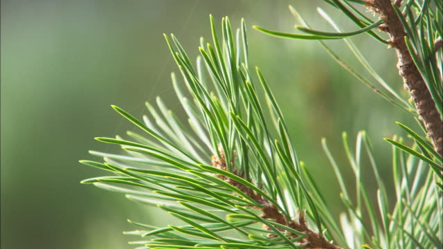 pine tree (pinaceae) cone and needles, wales, uk - pine tree stock videos & royalty-free footage