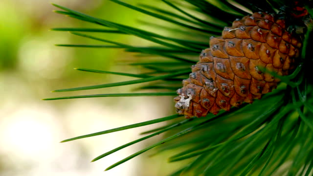 pine tree cone needles - pinecone stock videos & royalty-free footage