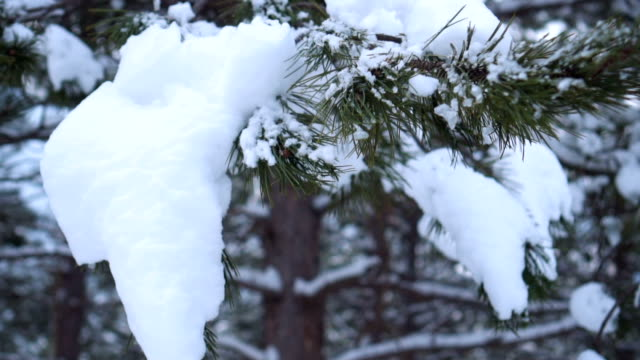 Pine tree covered with snow