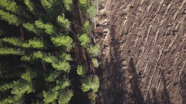pine tree forest deforestation - timber stock videos & royalty-free footage