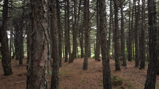 Pine Tree Forest in Spil Mountain National Park, Manisa, Turkey
