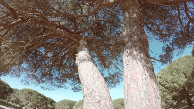 Pine Tree bosque