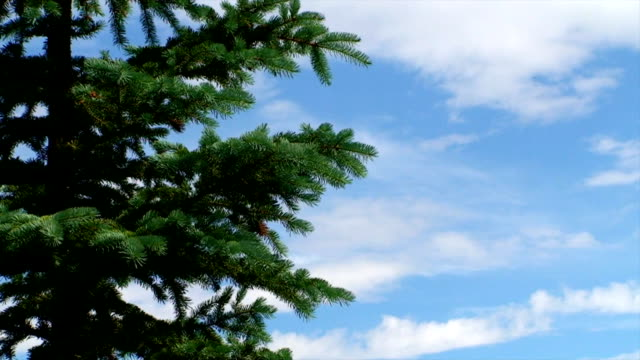 pine tree in colorado - pine stock videos & royalty-free footage