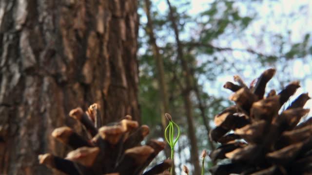 pine tree seed growing in uljin geumgang pine forest / uljin-gun, gyeongsangbuk-do, south korea - seedling stock videos & royalty-free footage