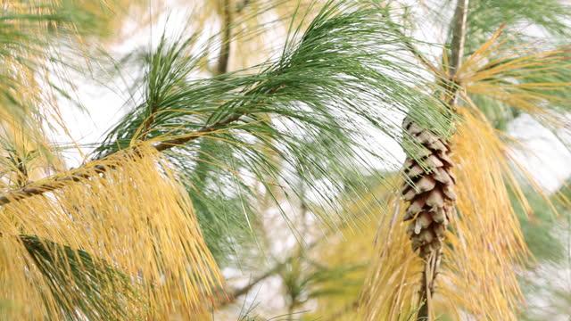 そよ風に揺れる松の木 - パインコーン点の映像素材/bロール