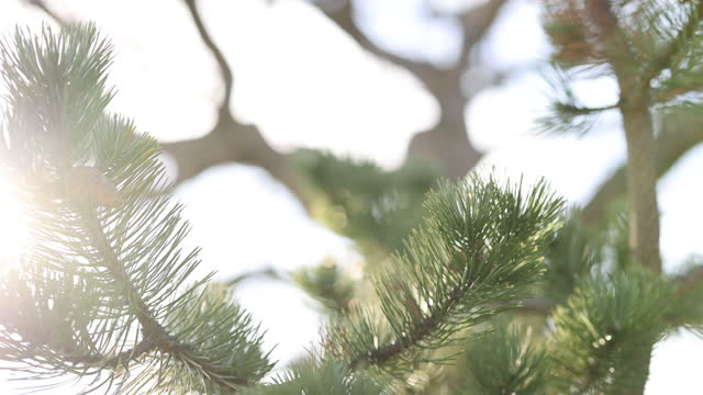 pine tree swaying in the breeze - sharp stock videos & royalty-free footage