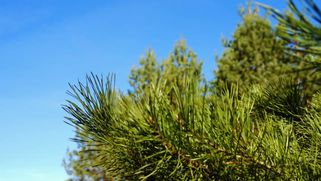 pine tree twig in forest - twig stock videos & royalty-free footage