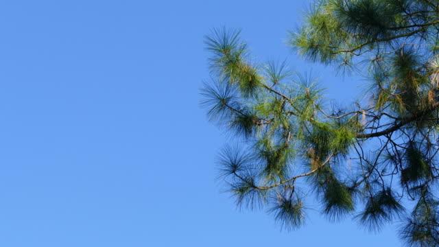 tall träd video bakgrunden - barr bildbanksvideor och videomaterial från bakom kulisserna