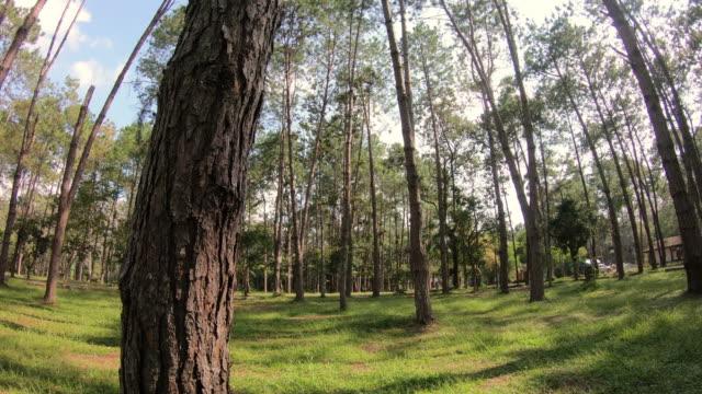 vídeos de stock e filmes b-roll de pine tree - casca de árvore