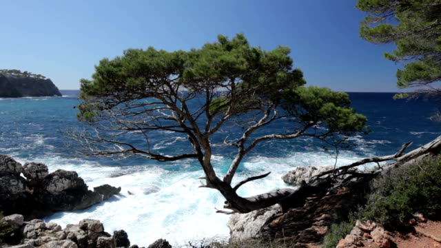 pine tree - balearic islands stock videos and b-roll footage