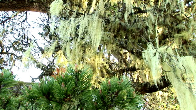 pine tree - epiphyte stock videos & royalty-free footage