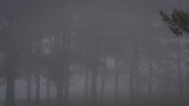pine tree with foggy in a rainy day