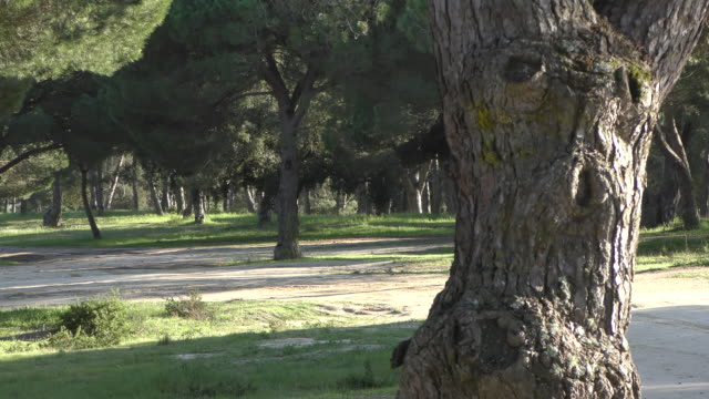 pine tree woodland - pine woodland stock videos & royalty-free footage