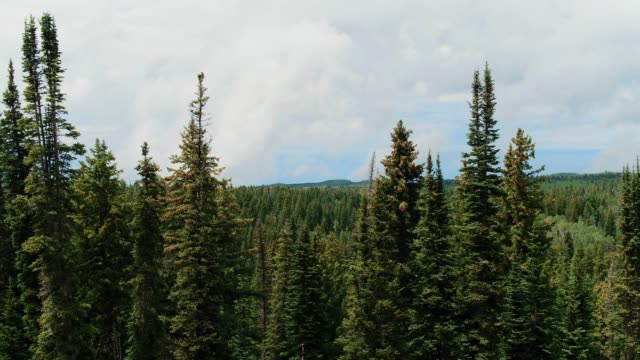 pine trees at the edge of an endless forest - at the edge of stock videos & royalty-free footage