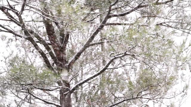 Pine árvores em um pesado Snowstorm