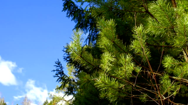 pine trees in early spring - coniferous stock videos & royalty-free footage