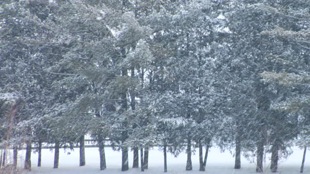 ms pine trees in falling snow/ hortonville, wisconsin - wisconsin video stock e b–roll