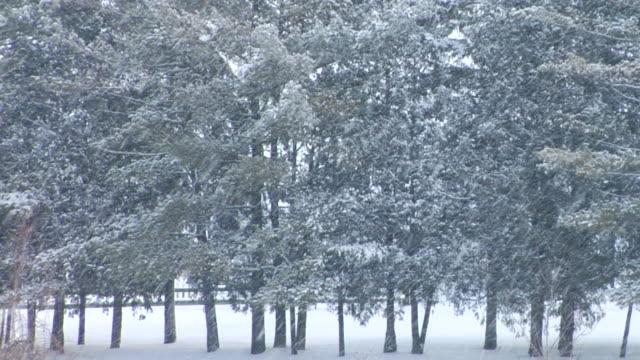 stockvideo's en b-roll-footage met ms pine trees in falling snow/ hortonville, wisconsin - het middenwesten van de verenigde staten