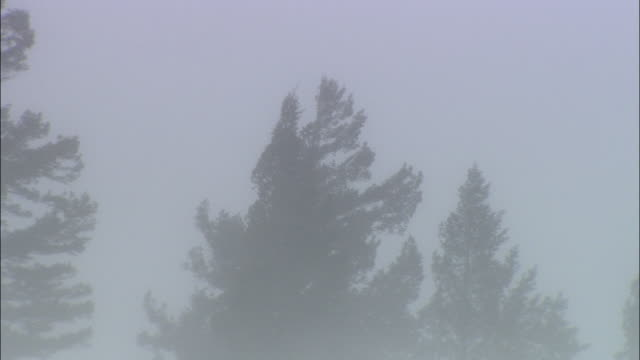 MS ZO WS Pine trees on snowy field in blizzard / Grand Teton National Park, Wyoming, USA