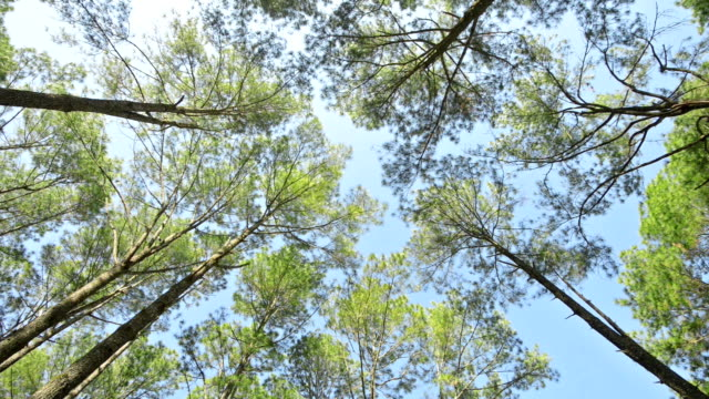 pine trees - tree canopy stock videos and b-roll footage