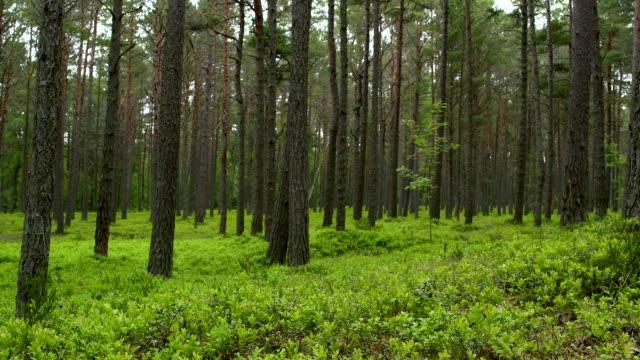 Pinien trees