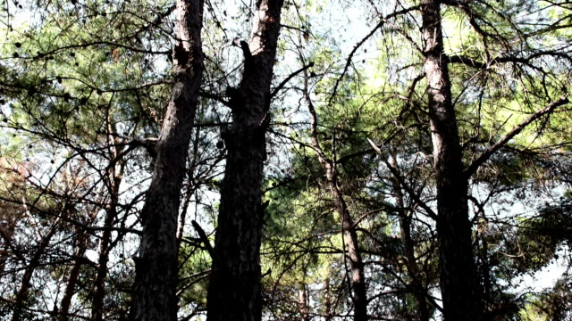 pine trees - pinaceae stock videos & royalty-free footage