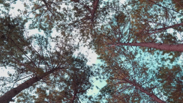 pine trees. - plant bark stock videos and b-roll footage