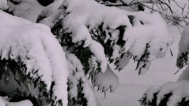 pine - pinaceae stock videos & royalty-free footage