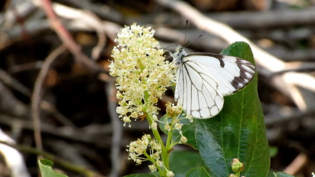 pine white butterfly - invertebrate stock videos & royalty-free footage