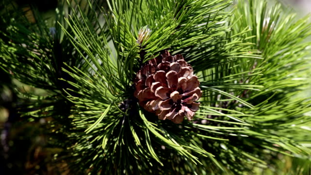 pine with cones - pinecone stock videos & royalty-free footage