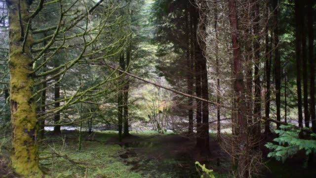 pine woods in south ayrshire. - david johnson stock videos & royalty-free footage