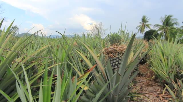 パイナップル農産物プランテーション