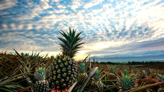 pineapple field sunset - pineapple stock videos & royalty-free footage