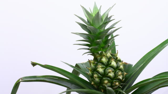 pineapple growing 4k - cultivated stock videos & royalty-free footage