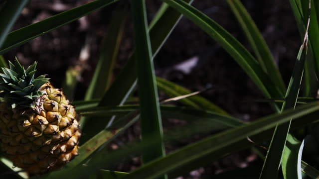 pineapple in a tree - pineapple stock videos and b-roll footage