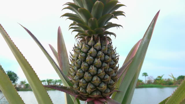 pineapple in the garden - pineapple stock videos & royalty-free footage