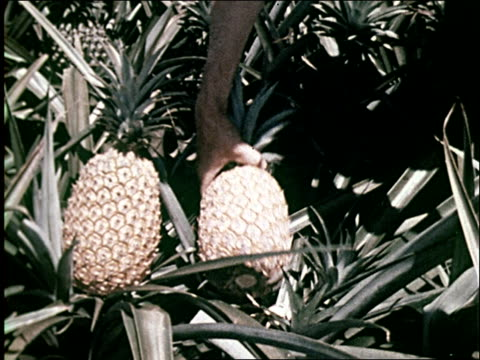 1959 Pineapple industry in Hawaii