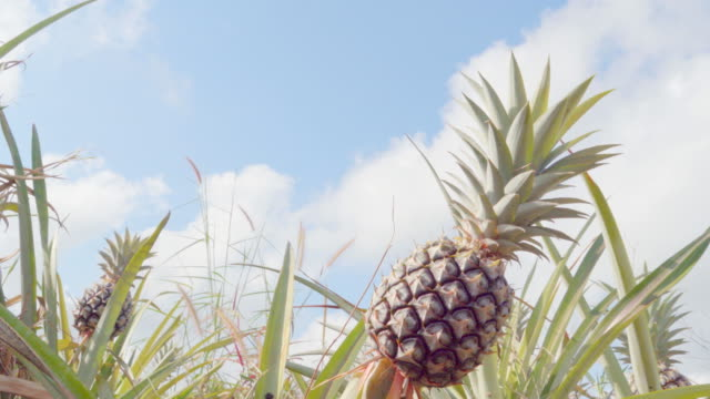 pineapple - pineapple stock videos & royalty-free footage