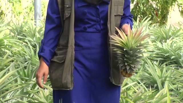pineapples are being harvested in the gaza strip for the first time as part of efforts to help the impoverished palestinian territory work towards... - self sufficiency stock videos and b-roll footage