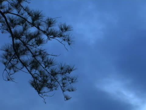 oscuramento pinetree contro il cielo - pinacee video stock e b–roll