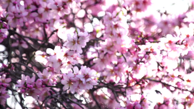 Pink almond blossoms