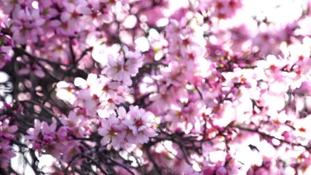 ピンクのアーモンドの花 - アーモンド点の映像素材/bロール