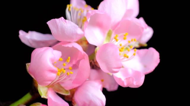 ピンク アーモンド花が咲くマクロ撮影 - アーモンド点の映像素材/bロール