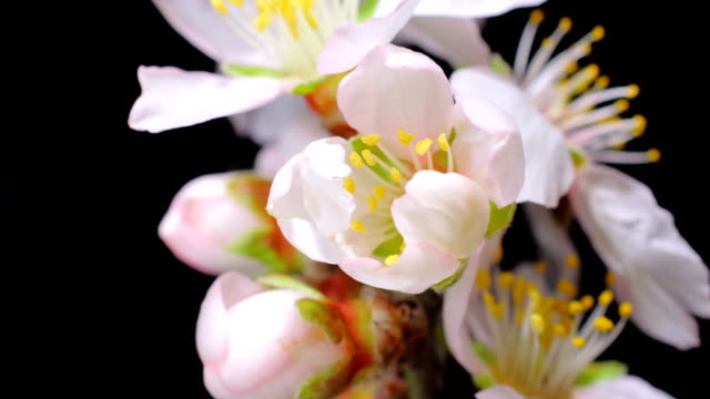 pink almond flower blooming, macro shot - almond stock videos and b-roll footage